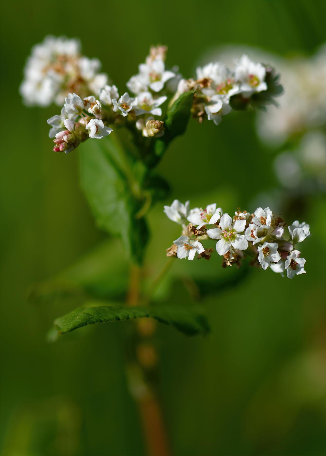 fleur-de-sarrasin